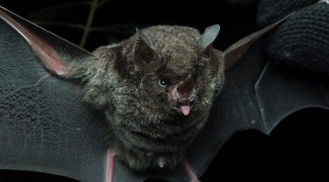 Morcegos trazem potenciais riscos zoonóticos mas ainda assim devem ser preservados